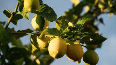 Limun i soda bikarbona nisu lijek za rak